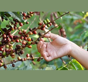 в красноярской школе выращивают кофе